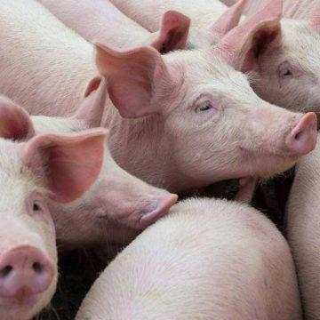 Precio del cerdo vivo sigue en aumento en la UE
