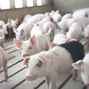 Propuesta de manejo para el control de granjas con problemas respiratorios (Parte I)