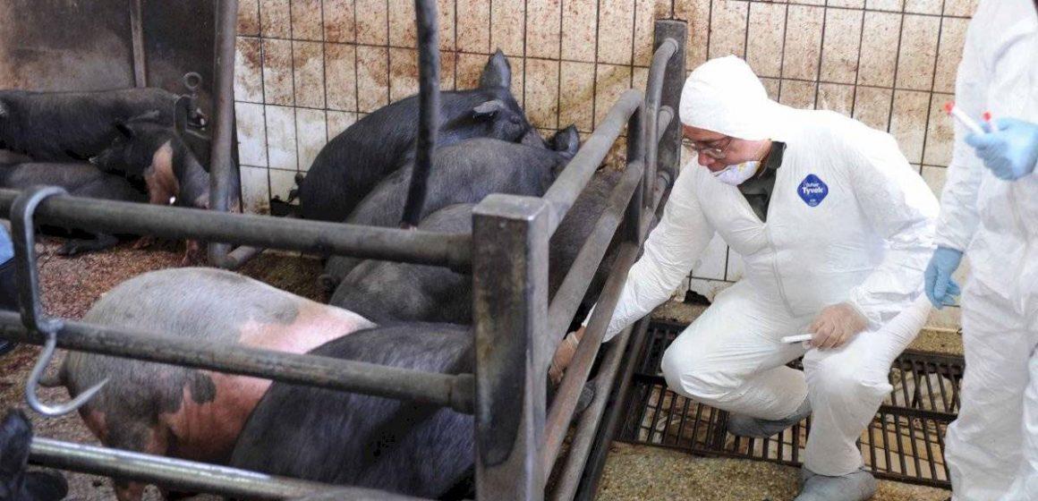 PPC mató a miles de cerdos en Indonesia