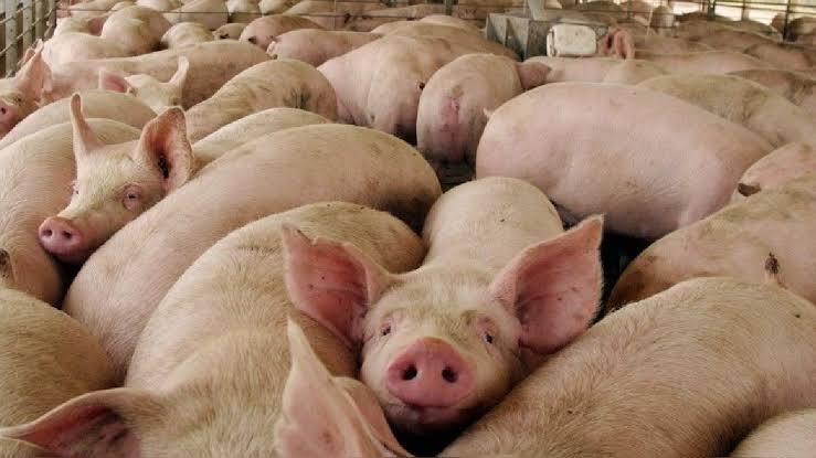 China importó un 150% más de carne de cerdo