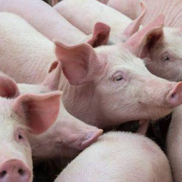 Sector porcino es afectado por las movilizaciones en Colombia