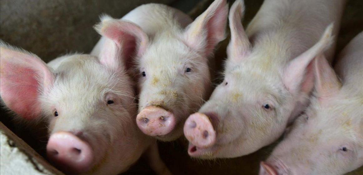 Porcicultores dominicanos en crisis por las importaciones