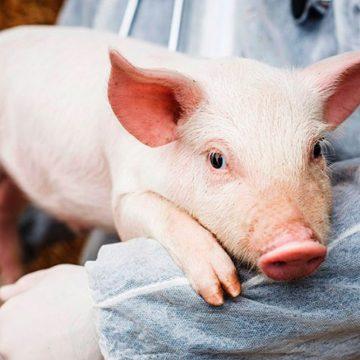 Venezuela: carne de cerdo importada pone en riesgo a la producción sudamericana