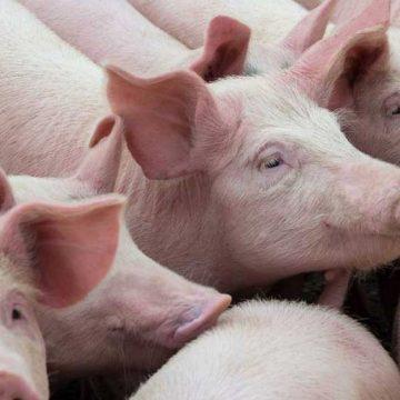 Organizaciones de consumidores en contra de Trump para modificar la inspección en porcino