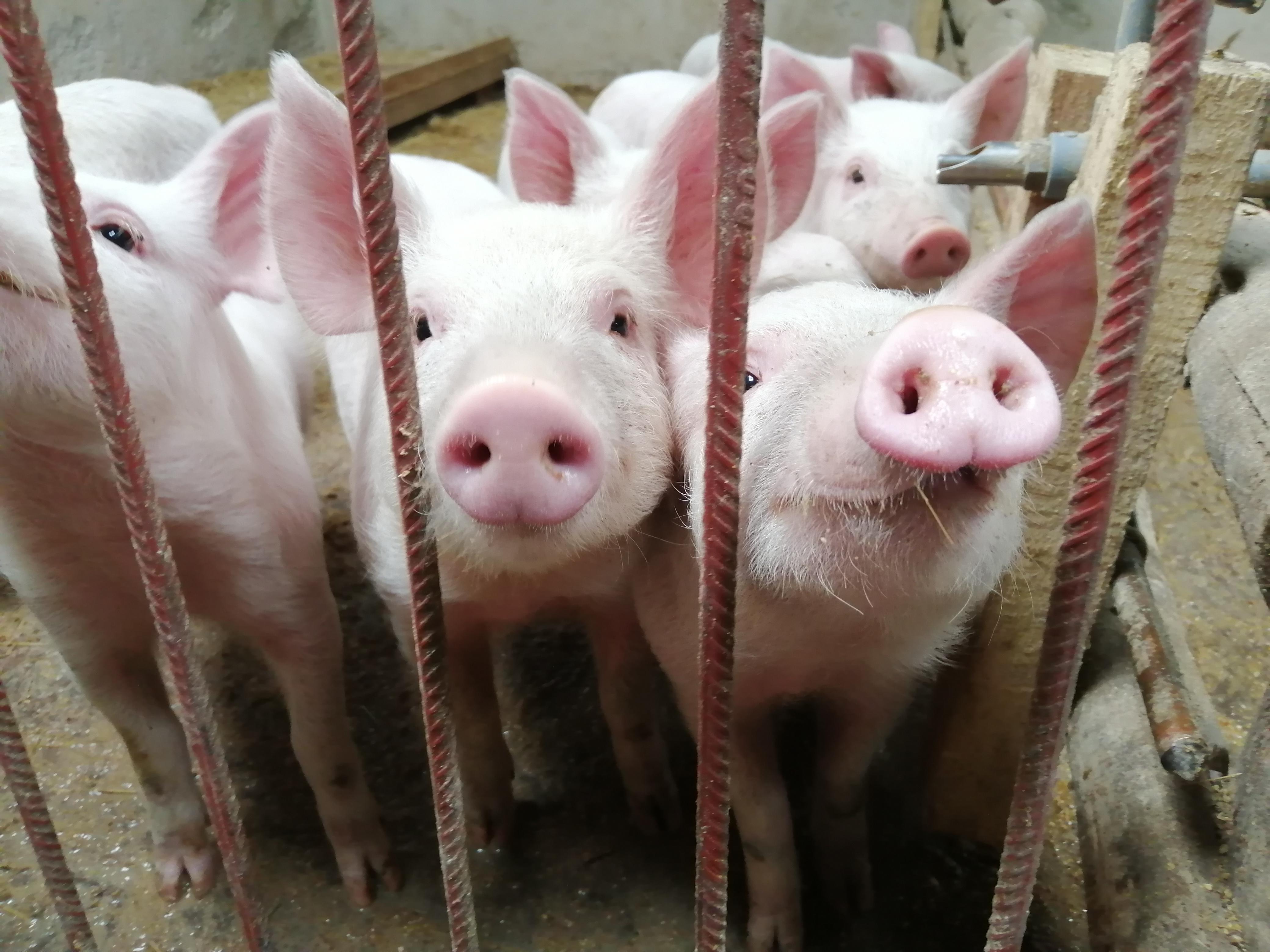 MINAGRI-vacuna-en-dos-meses-a-más-de-25-mil-cerdos-en-Cusco.jpg