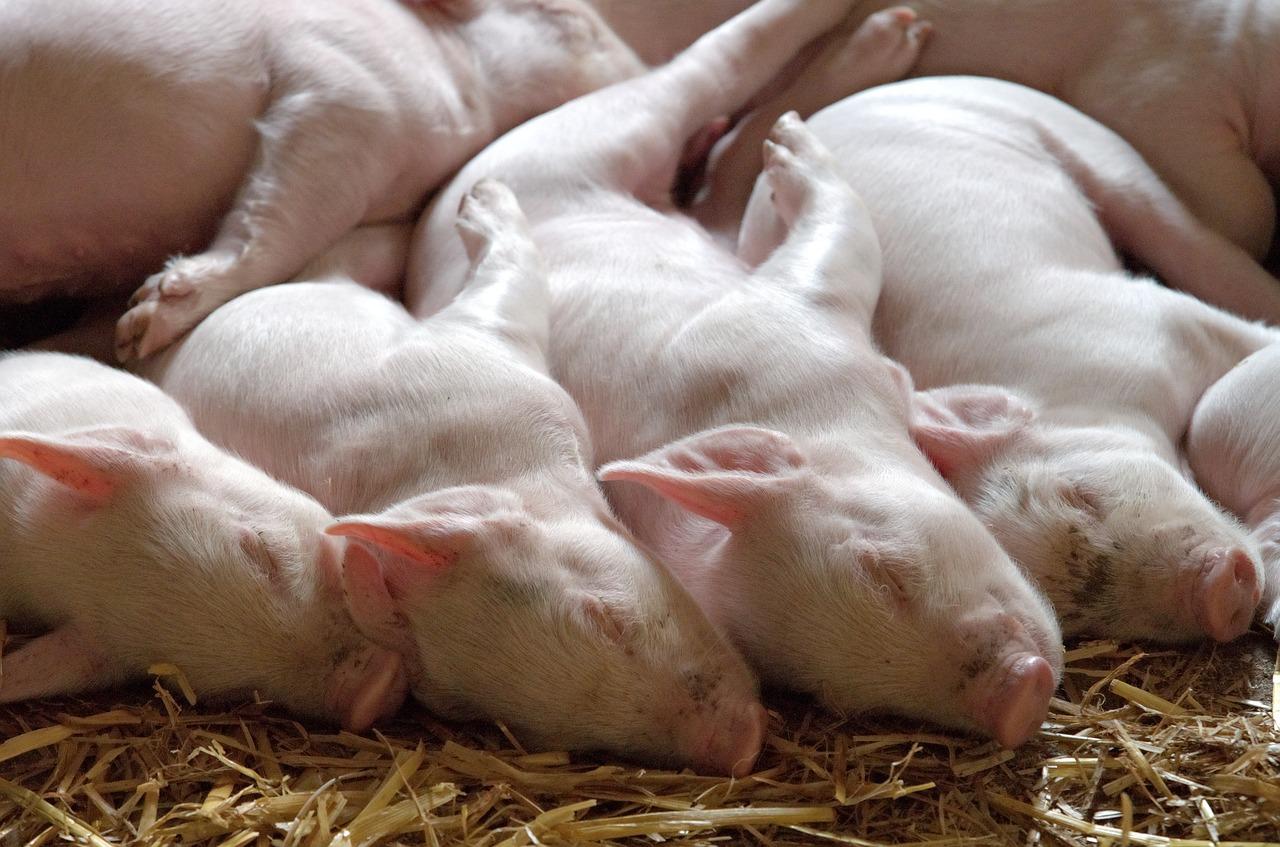 Italia: 9,5 toneladas de carne de cerdo procedentes de China fueron incautadas