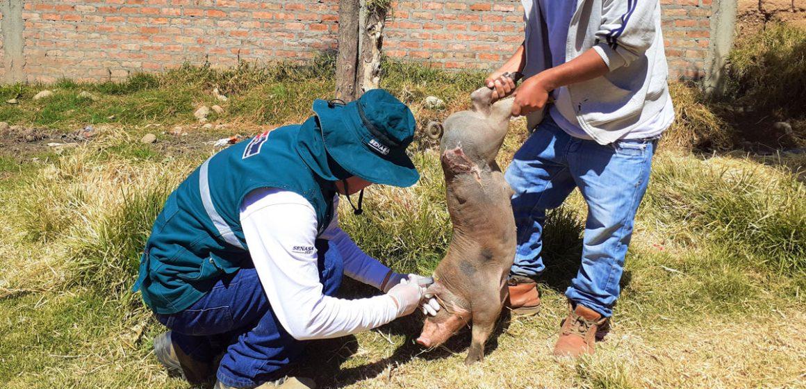 Senasa vacunó a miles de cerdos en La Libertad