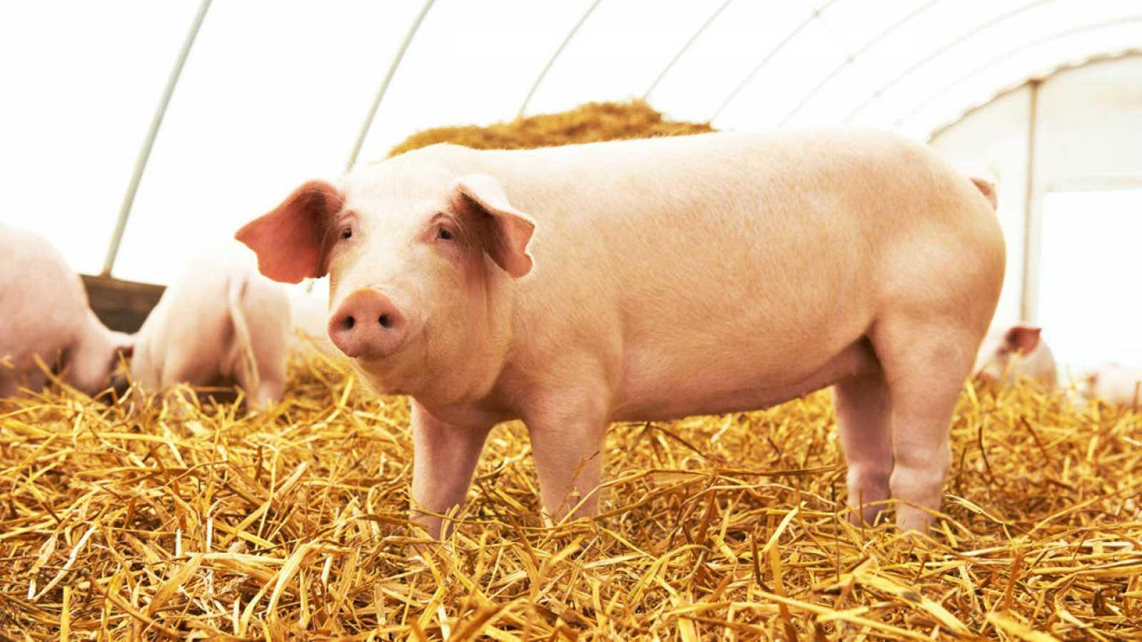 Francia: prohíben castración de cerdos sin anestesia