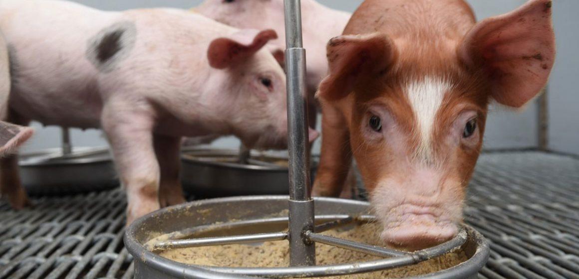 Fuentes de proteínas alternativas a la soja en la alimentación de ganado porcino