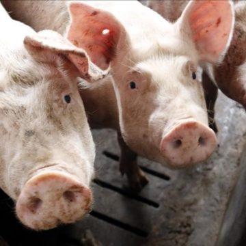 Herramienta práctica y de reporte inmediato para monitoreo de patologías respiratorias porcinas