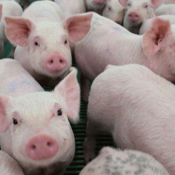 Cómo mantener el crecimiento de los cerdos en verano