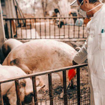Alemania: granjas de cerdos amenazadas por la PPA
