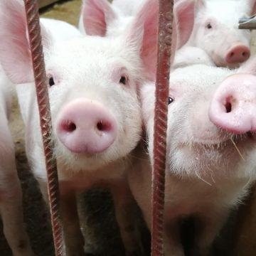 China: precio de la carne de cerdo baja ligeramente