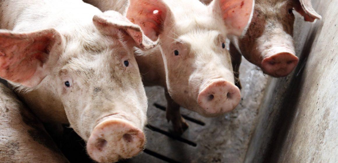 Brasil: producción porcina incrementará en 2020