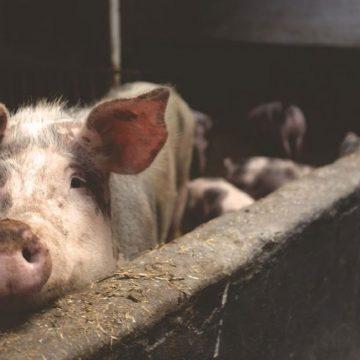 Porcicultura de traspatio es el desafío actual de la UE