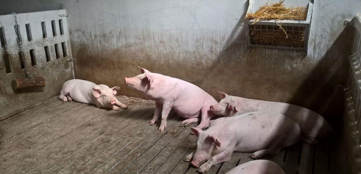 Grecia detectó brote de peste porcina africana