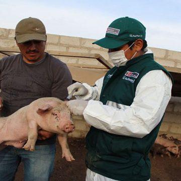 Vacunarán 90 mil cerdos contra PPC en Arequipa