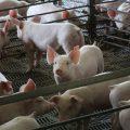 9 consejos para el bienestar de los cerdos