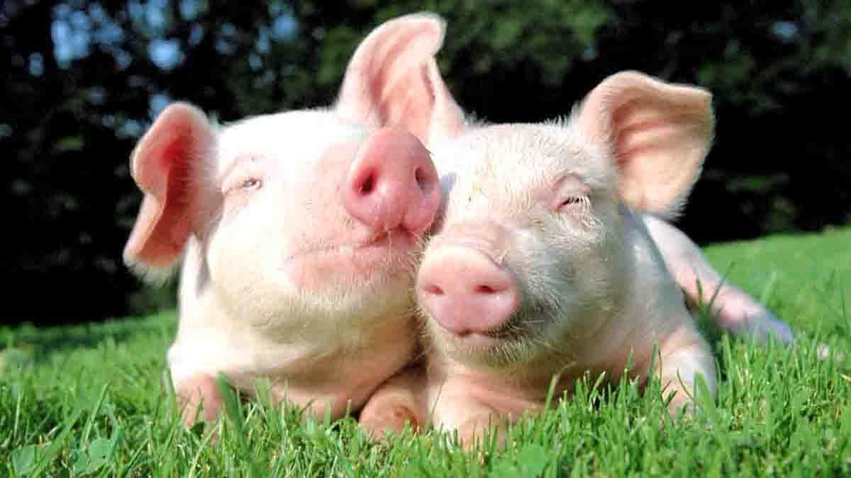 Cerdos---Perito-en-Cerdos-1
