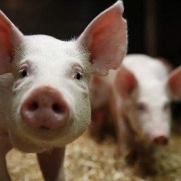 China: reservas estatales de cerdo son puestas en el mercado chino