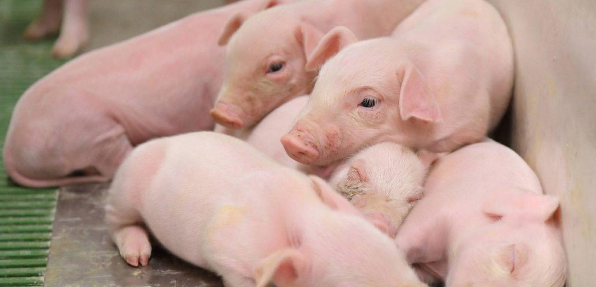 Más del 63 por ciento de mujeres deciden estrategia en la crianza de porcinos