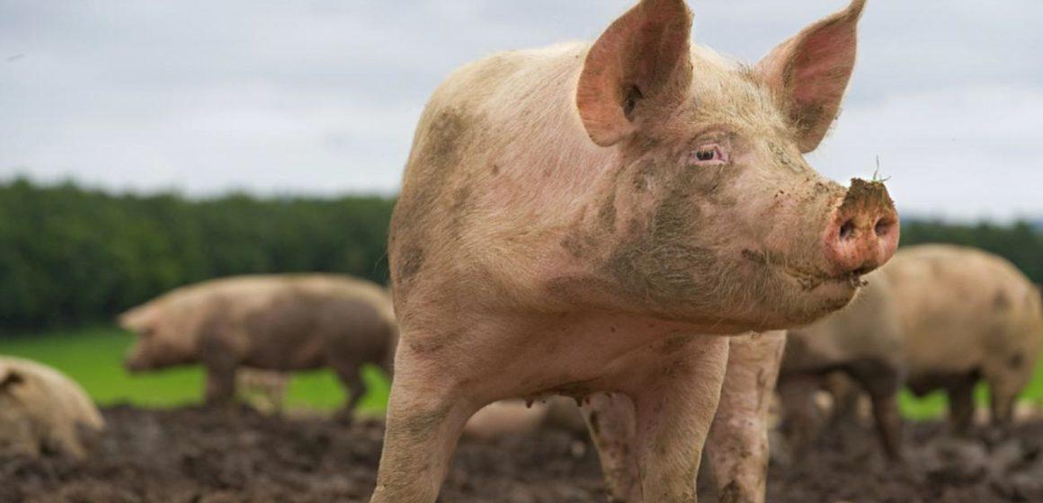 Alemania: consumo de carne de cerdo se reduce