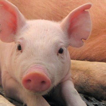 Rumania: PPA reduce censo porcino de la industria cárnica