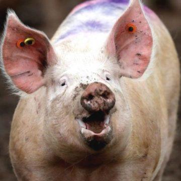 Polonia: detectan brote de PPA que afecta a más de 23,000 cerdos