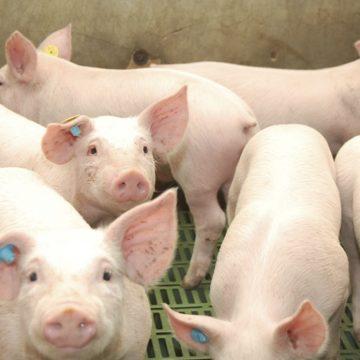 Nicaragua: implementan mejoramiento genético en cerdos