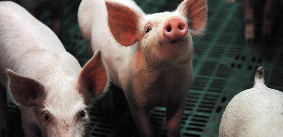 México: descartan desabasto de carne de cerdo en Yucatán