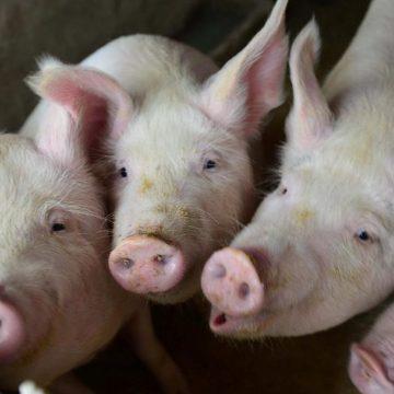 USDA pronostica modificaciones en importaciones porcinas de Filipinas