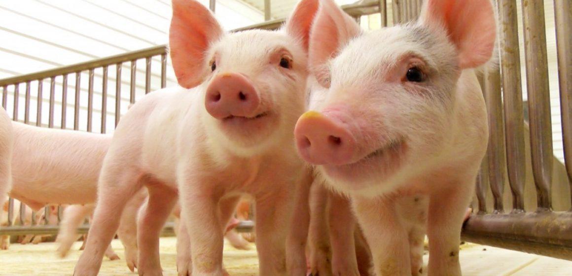 China: proponen incrementar envío de cerdos al país