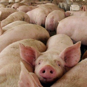 Rusia: 1500 toneladas de carne de cerdo serán exportadas a Vietnam