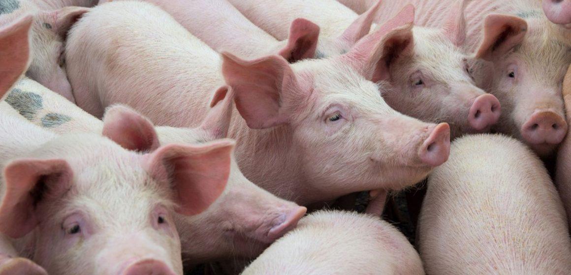 Vietnam: importación de cerdo aumentará para abastecer mercado local