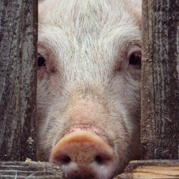 Argentina: se incrementará el potencial exportador de carne porcina