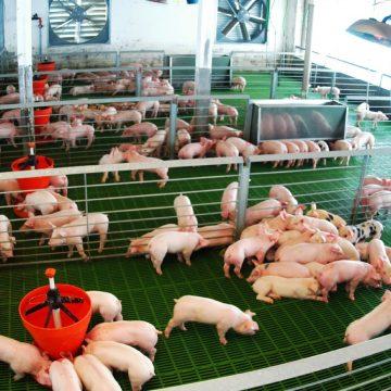 Gobierno chino alienta a empresas a criar cerdos en el exterior ante crisis sanitaria