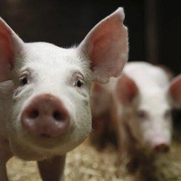 Vietnam: importación de cerdo crece por PPA  coronavirus