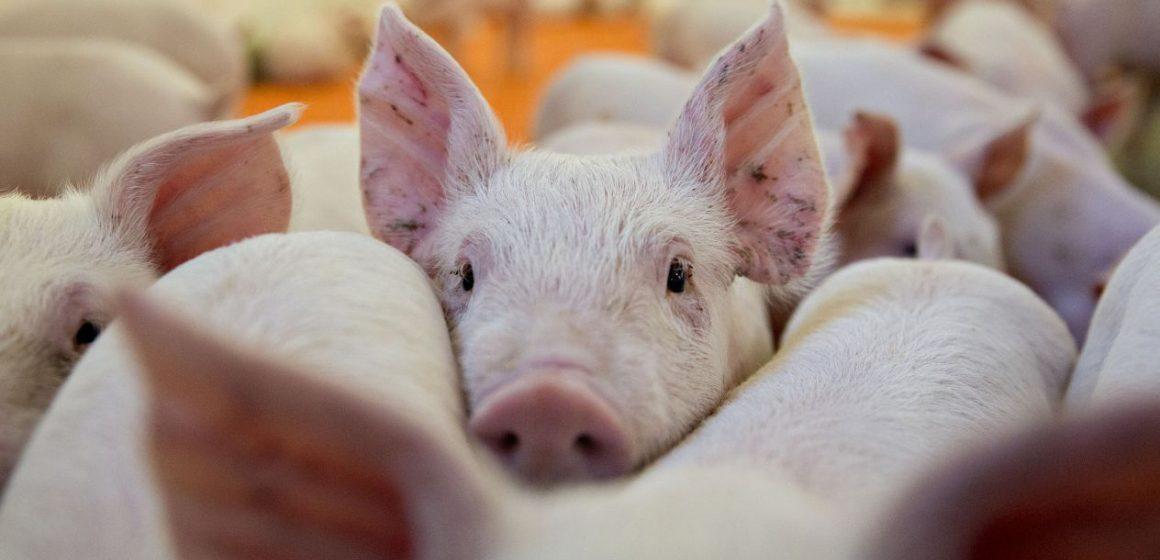 Covid-19: mercado porcícola mundial podría ser afectado