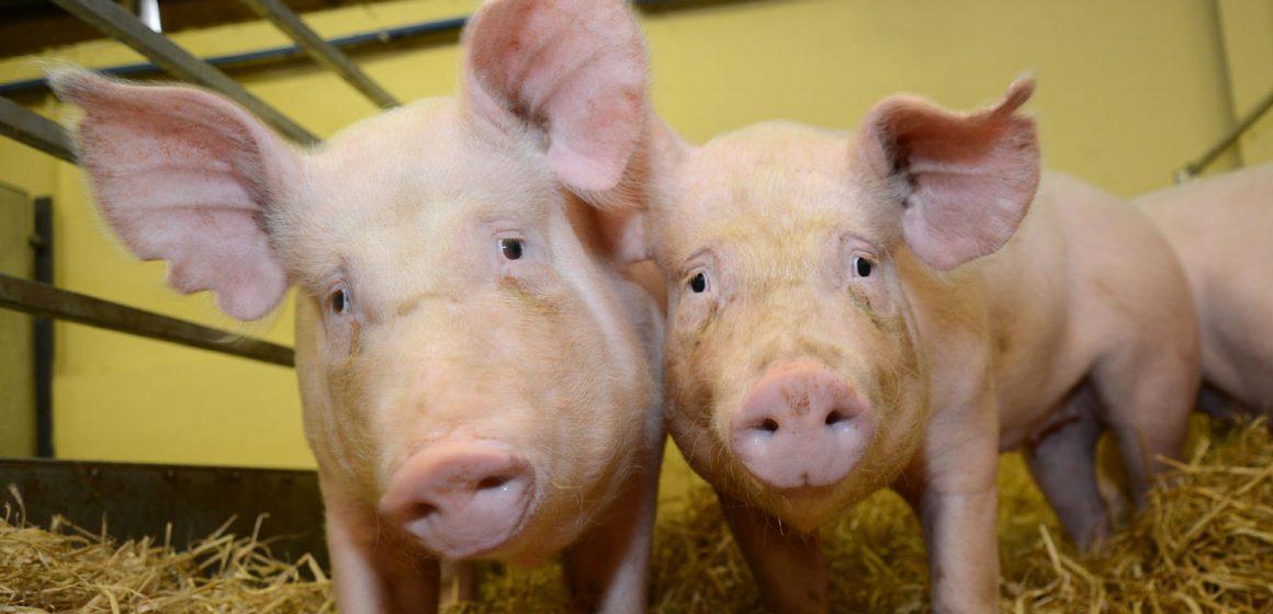 China: liberan 17.000 toneladas de carne de cerdo de reservas centrales