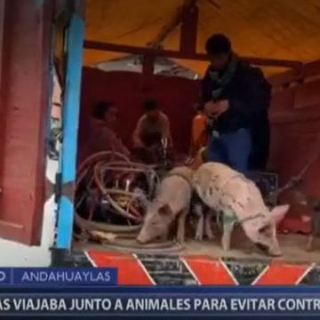 COVID-19: Policía interviene camión con personas, cerdos y perros en Andahuaylas