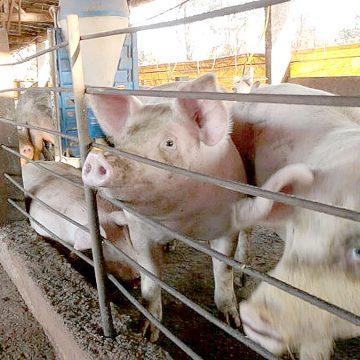 China asigna fondos para impulsar producción de cerdo