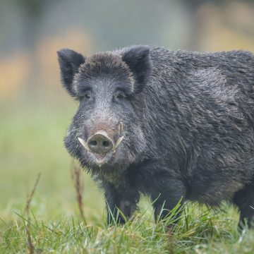 Alemania intensifica medidas de control ante peste porcina africana
