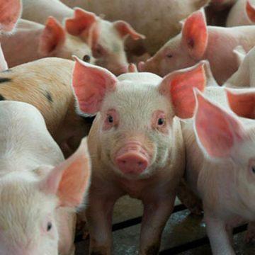 Nicaragua aumentó producción porcina en primeros meses de 2020
