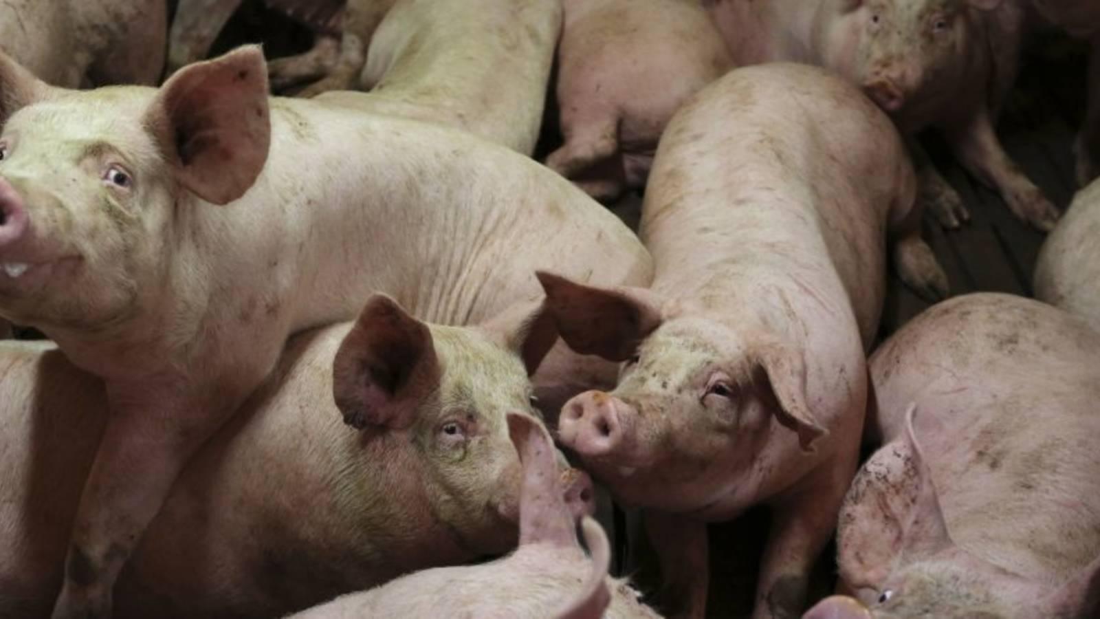 el-embrion-quimera-los-cerdos-que-se-convertiran-en-los-donantes-del-futuro