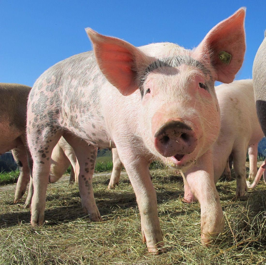 fan-animal-la-isla-del-caribe-habitada-por-cerdos-5