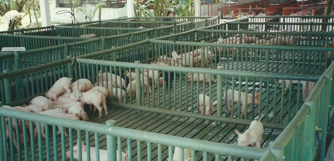 Crean Empresa Mixta Porcina en Cuba
