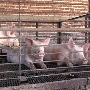 Granjas Carroll donará 13 t de carne de cerdo en México