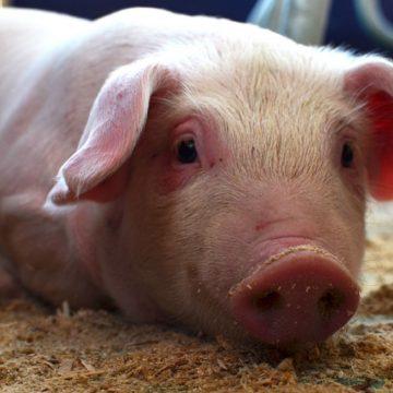 Evalúan suplementar alimentación de cerdos con ajo y diente de león para mejorar niveles de ácidos grasos