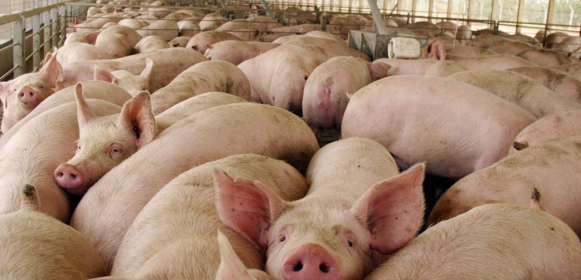 El COVID-19 no afecta a los animales. Ni el coronavirus común de animales de producción afecta al humano