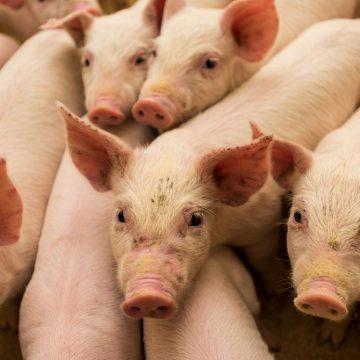 Nuevas vacunas de Nipah muestran resultados prometedores en cerdos